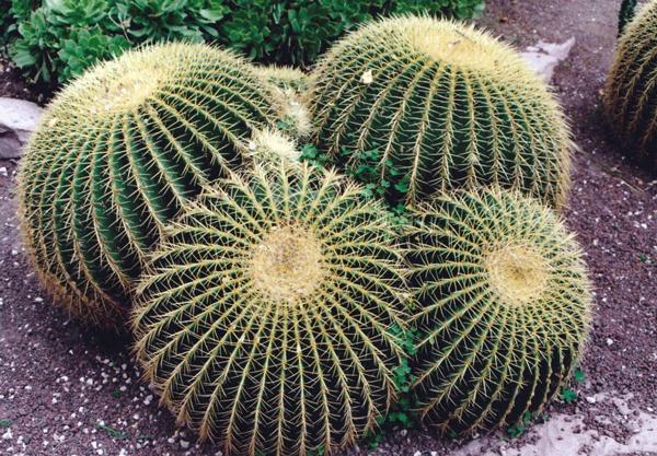 Cactus, Huerto del Cura, Gemma San Cornelio, 1996.